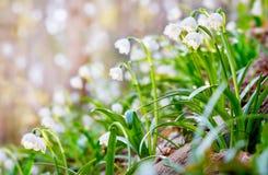 Leucojum aestivums blommor som blommar i solig dag grunt djupfält Arkivfoton