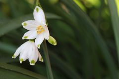 Leucojum Stock Photography