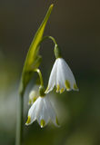 Leucojum flowers Stock Photos