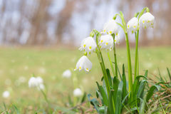 Leucojum spring snowdrops on shiny glade in forest Royalty Free Stock Photo