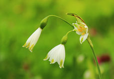 Leucojum Summer Snowflake Royalty Free Stock Photography
