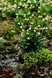 Leucojum vernum Stock Photo