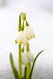 Leucojum vernum carpaticum Royalty Free Stock Images