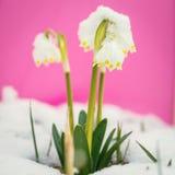 Leucojum vernum carpaticum Stock Photography