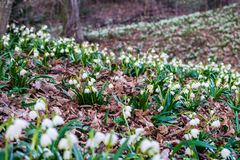 Leucojum vernum. Snowflake forest in the spring. Royalty Free Stock Image