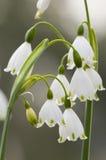 Leucojum vernum, spring snowflake, flowers Stock Photography