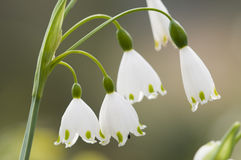 Leucojum vernum, spring snowflake, flowers Stock Photo