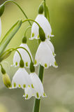 Leucojum vernum, spring snowflake, flowers Royalty Free Stock Photography