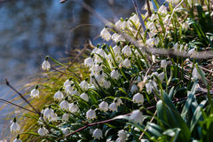 Leucojum vernum; vårsnöflinga Fotografering för Bildbyråer