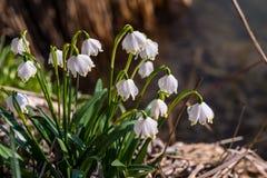 Leucojum vernum; vårsnöflinga Royaltyfri Fotografi