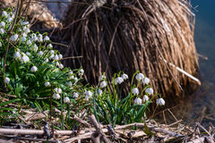 Leucojum vernum; vårsnöflinga Royaltyfria Bilder