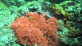 Leucokranos van Whitebonnet anemonefish Amphiprion in Prachtige anemoon in de koralen in het Zoeloes overzeese eiland van Apo stock video