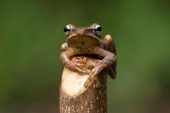 Leucomystax de Polypedates Photo stock