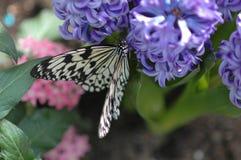 Leucone (idea leucone) on lavender flower Stock Images