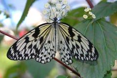Leucone (Idee leucone) auf weißer Blume Stockfotografie