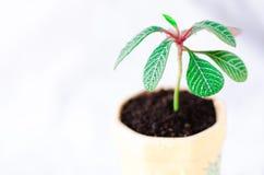 Leuconeura do eufórbio Planta em pasta nova fotos de stock