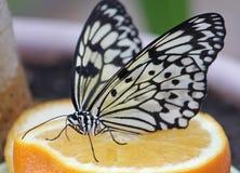 Leuconoe идеи бабочки на апельсине Стоковое Изображение RF