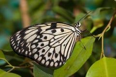 Leuconoe di idea, cervo volante di carta, farfalla del documento di riso Fotografie Stock