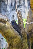 Leucophaeus de Mandrillus de Dril observant d'un arbre photographie stock libre de droits