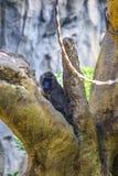 Leucophaeus di mandrillo di Dril che guarda da un albero fotografia stock libera da diritti