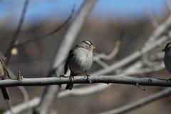 被加冠的leucophrys麻雀白色麻雀 库存图片