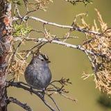 Leucophrys ad ovest interni di Zonotrichia del passero dal collare bianco Fotografie Stock Libere da Diritti