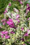 Leucophyllum frutescens花在自然庭院里 免版税库存照片