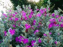 Leucophyllum frutescens Stock Photos