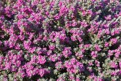 Leucophyllum灌木拉丁名字- Leucophyllum frutescens 软的焦点,选择聚焦 免版税图库摄影