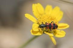 Leucopsideus Trichodes Стоковые Фото