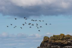 Leucopsis чёрной казарки гусыни щипцев, остров Skye Шотландии, объединенный стоковое изображение