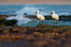 Leucorodia del Platalea - paio euroasiatico di spatola sulla spiaggia fotografia stock libera da diritti