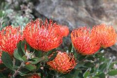 Leucospermum - цветки Protea Pincushion стоковые изображения