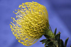 Leucospermum Stockbild