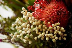 Leucospermum and brunia macro.Unusual plants in floristry stock images