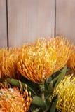 Leucospermum cordifolium flower (pincushion protea) Stock Image