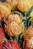 Leucospermum cordifolium flower (pincushion protea) Royalty Free Stock Images