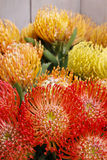 Leucospermum cordifolium flower (pincushion protea) Stock Photography