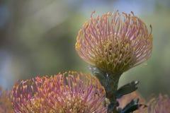 Leucospermum Cordifolium, het Neigen Speldenkussenbloemen Royalty-vrije Stock Foto's