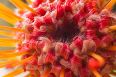 Leucospermum cordifolium Royalty Free Stock Image