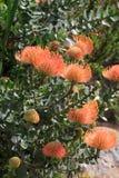 Leucospermum erubescens (Oranjevlam/橙色火焰)花 免版税库存照片