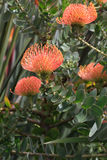 Leucospermum erubescens (Oranjevlam/橙色火焰) flowerห 库存照片