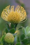 Leucospermum erubescens (Oranjevlam/Orange Flame) flower Stock Photography