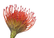 Leucospermum Flower Stock Photos