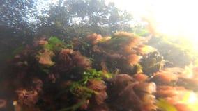 Leucostica de Porphira d'intestinalis d'Enteromorpha de vert de mer et d'algues rouges en Mer Noire banque de vidéos