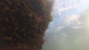 Leucostica de Porphira dos intestinalis de Enteromorpha do verde de mar e das algas vermelhas no Mar Negro vídeos de arquivo
