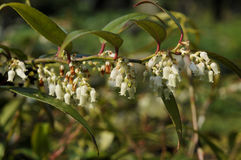 Leucothoe axillaris Stock Images