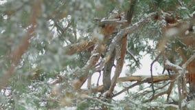 Leucotos dal dorso bianco rigorosamente protetti di Dendrocopos del picchio che lavorano all'albero morto video d archivio
