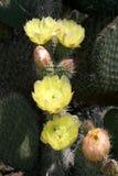 Leucotricha de la Opuntia Imagenes de archivo