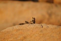 Leucurus d'Ammospermophilus coupé la queue deux par blancs d'écureuil d'antilope photos libres de droits